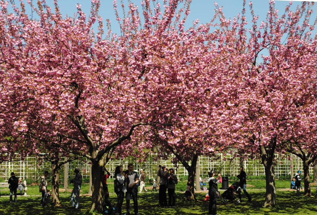 Cherry Esplanade Brooklyn Botanic Garden 2