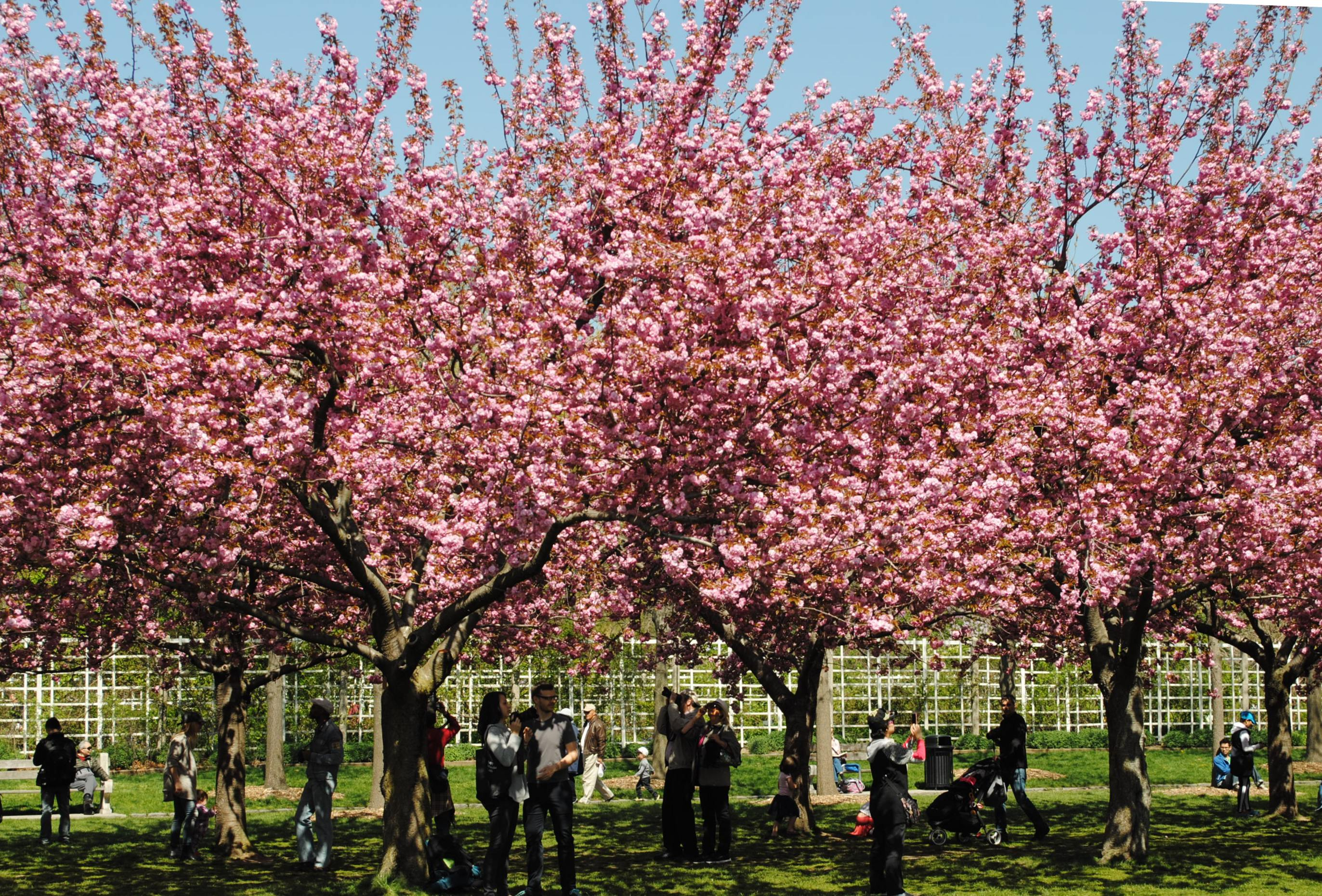 cherry blossoms at the brooklyn botanic garden noted in nyc