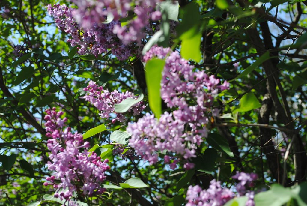 Lilacs Brooklyn Botanic Garden