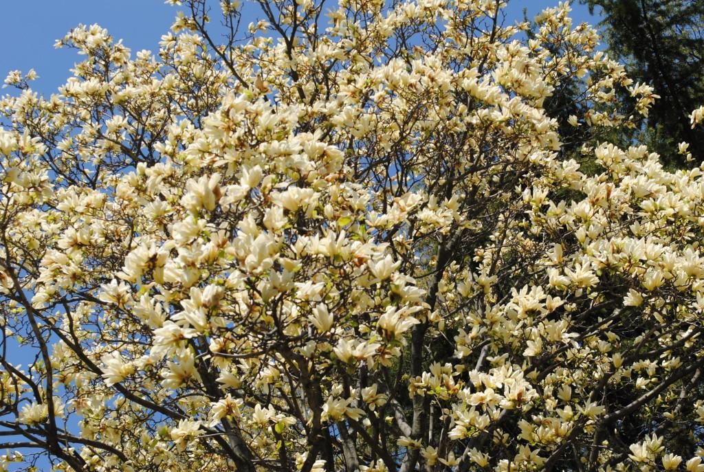 Elizabeth Magnolia Brooklyn Botanic Garden