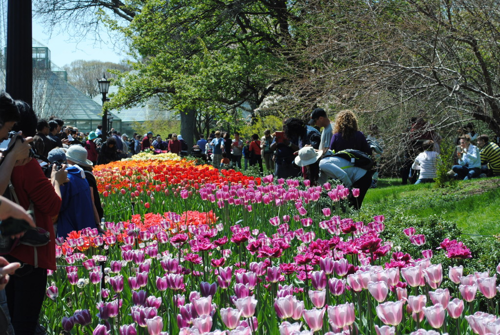 Tulips Brooklyn Botanic Garden